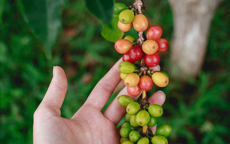 What Makes Kona Coffee Unique?